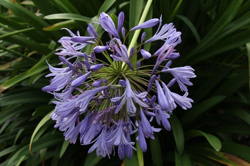 Fleur d'agapenthe – Ragnagna des Bois Jolis
