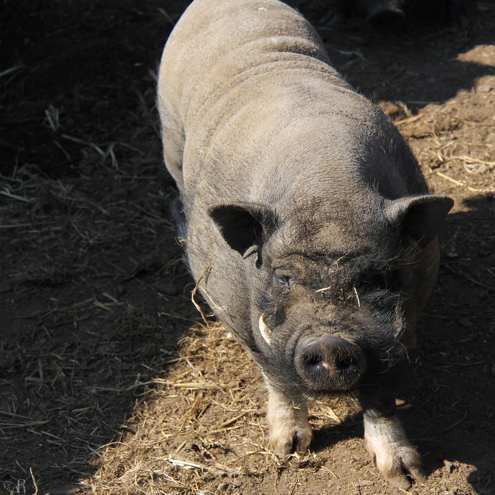 Porky le papa cochon de type asiatique ragnagna des bois jolis - Papa cochon a la piscine ...