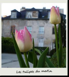 Tulipes buccoliques du matin